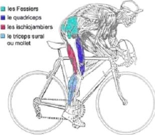 le velo muscle quoi